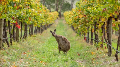 Kangaroo, Escapegoat Adventures Bike Tour
